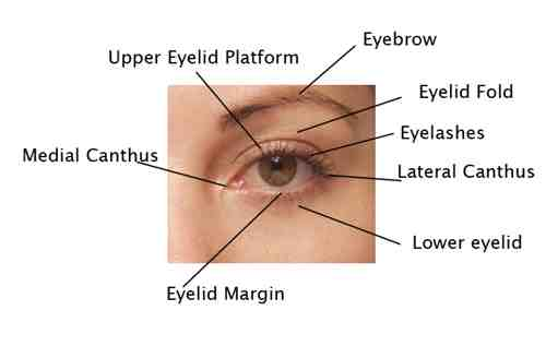 facial anatomy beverly hills internal face structure los angeles : eyelid diagram - findchart.co