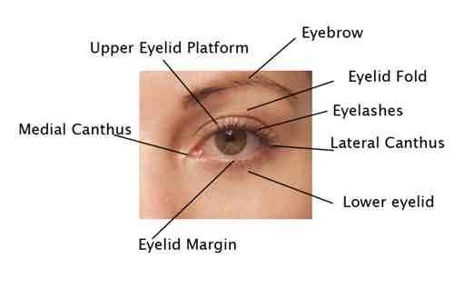 Facial anatomy plastic surgery beverly hills lidlift eyelid surgery blepharoplasty cosmetic surgery beverly hills los angeles ca ccuart Gallery
